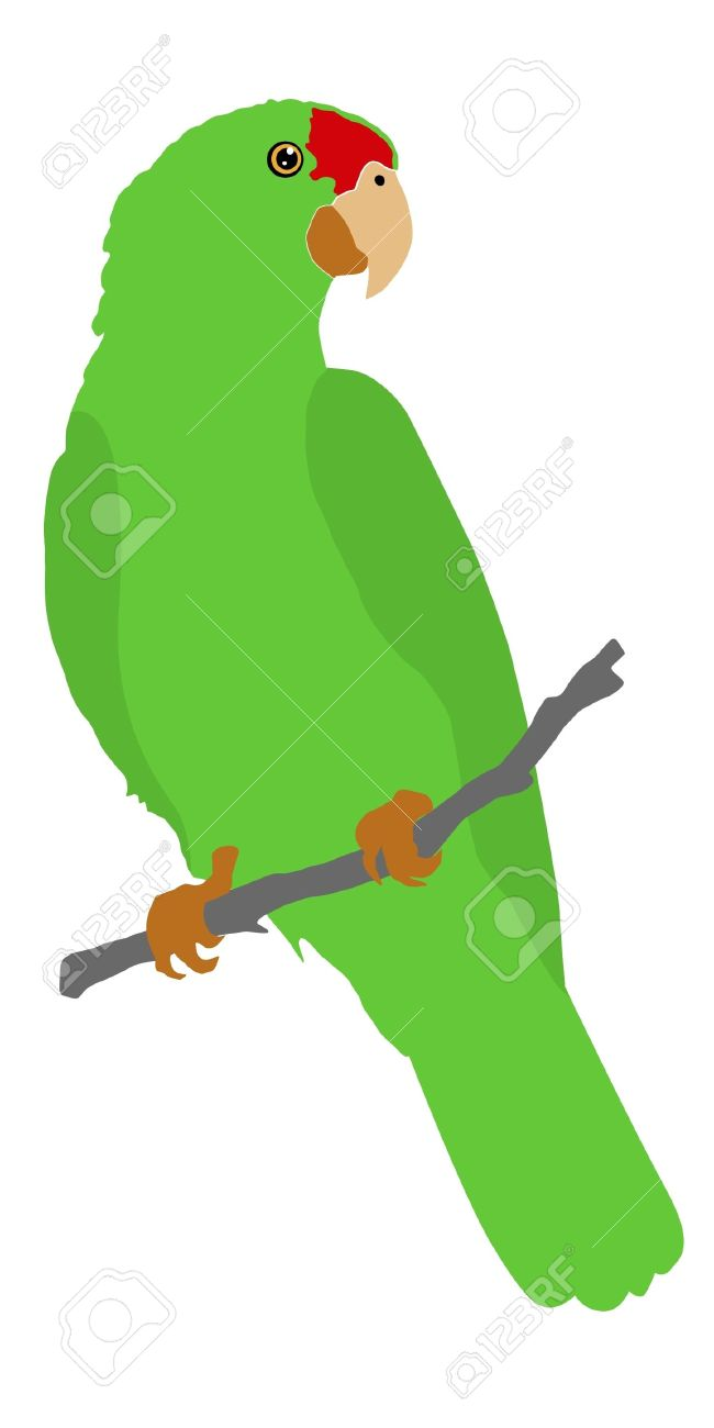 Parrot clipart double Amazon drawings #14 Download clipart