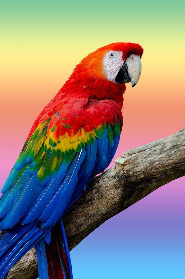 Parrot clipart rainbow color 25+ Pinterest on Best parrots