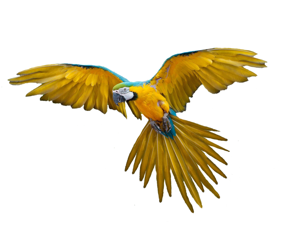 Parrot clipart real Parrot download Flying download free