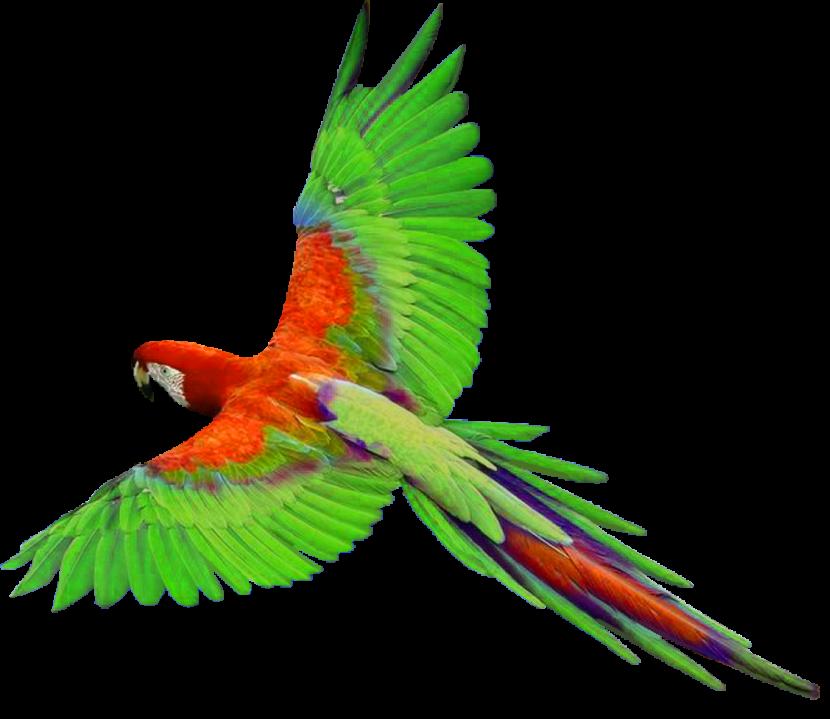 Parrot clipart talking bird Clipart Clipart Clipart Parrot Images