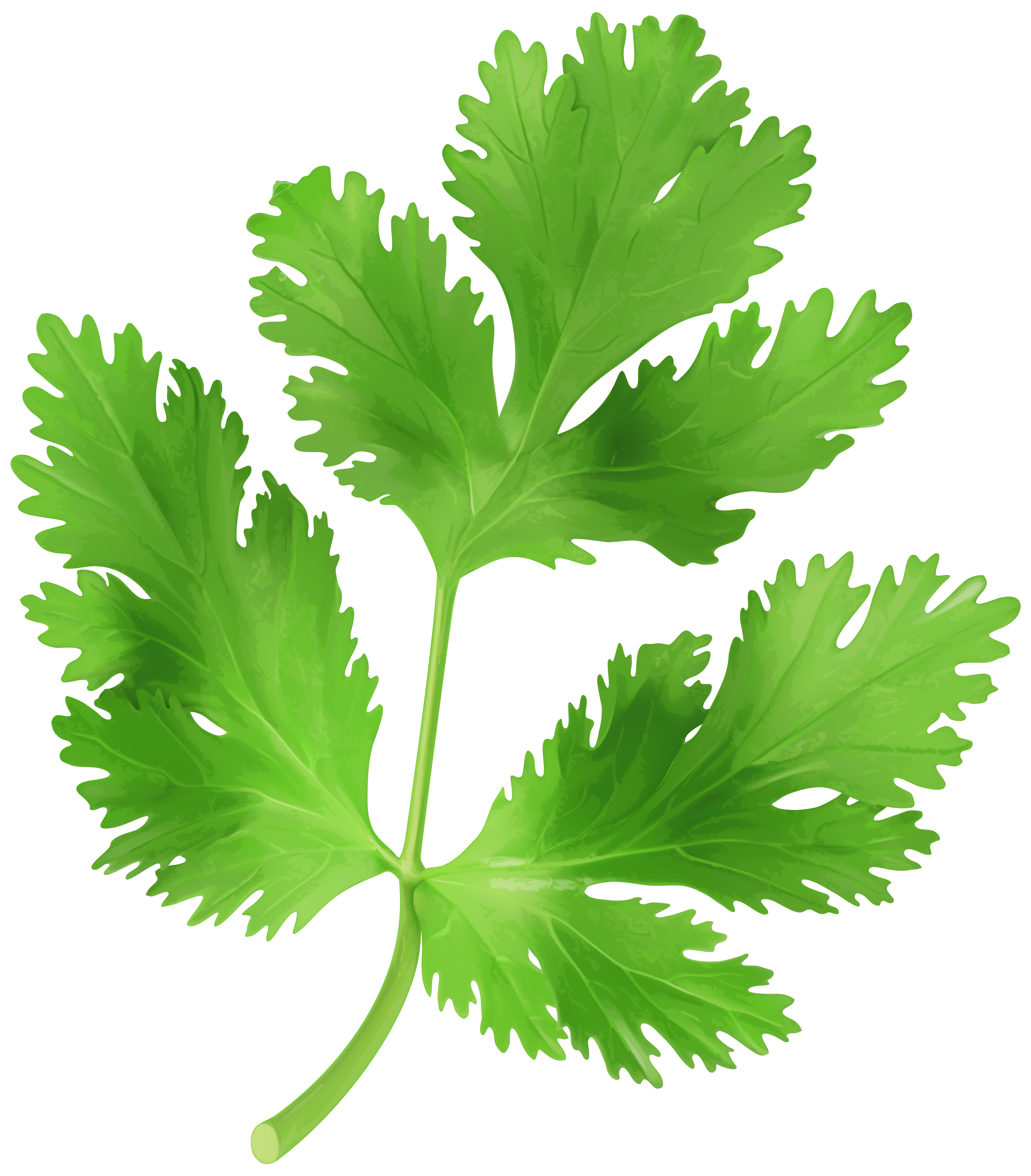 Parsley clipart Gallery Art Image Parsley size