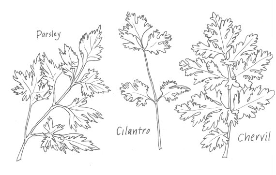 Parsley clipart black and white #5