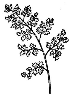 Parsley clipart black and white #9
