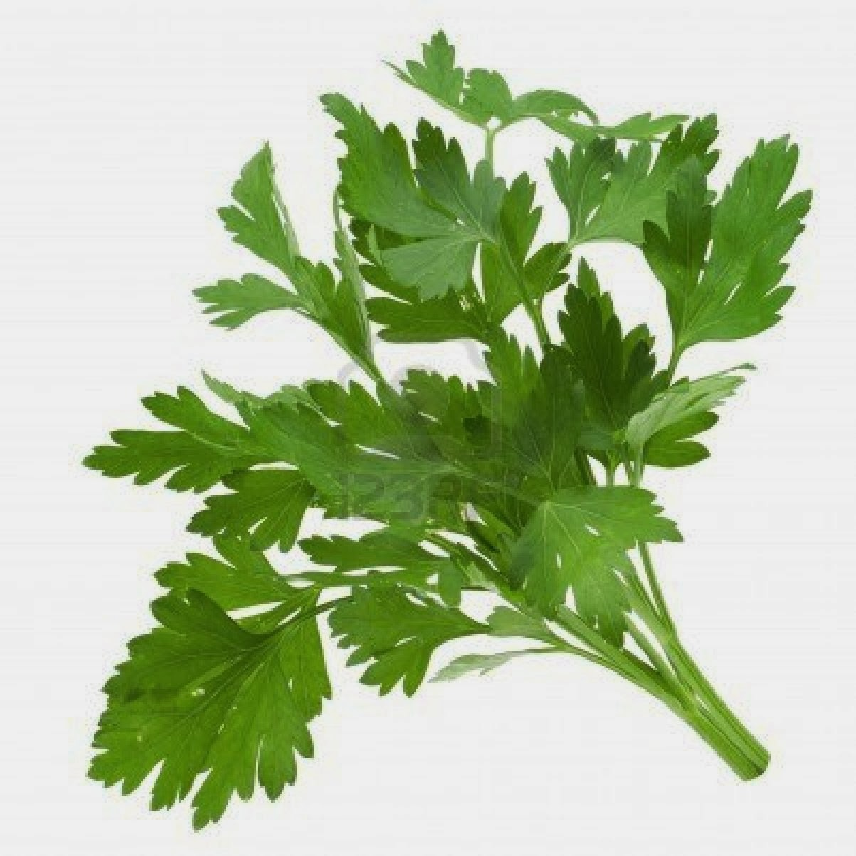 Parsley clipart cilantro PARSLEY Hound: The Herb PARSLEY