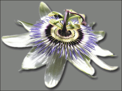 Passion Flower clipart Flower Passion Fruit Clipart Flower