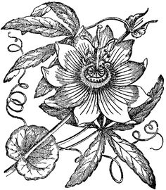 Passion Flower clipart Incarnata Passionflower passiflora Google Pinterest