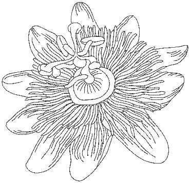 Passion Flower clipart black and white Passion fruit & best Perfect