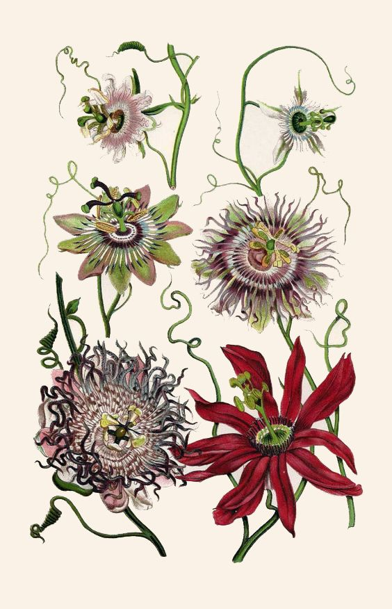 Passion Flower clipart complicated Pinterest Print Botanical best boudhabar: