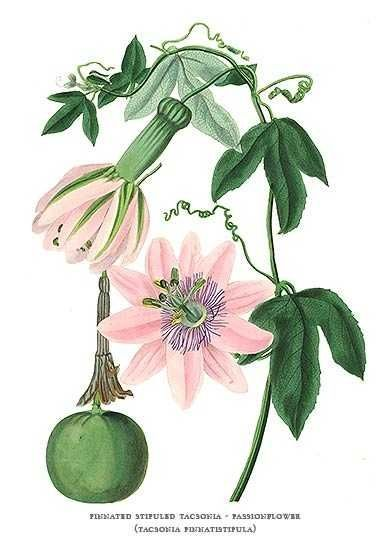 Passion Flower clipart complicated Plants Art Paxton by Fruit