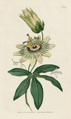 Passion Flower clipart complicated European Prints Passion Common Botanical