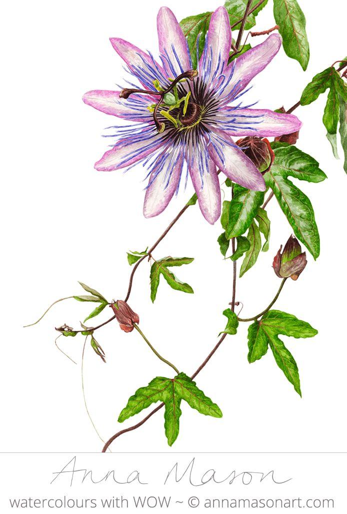 Passion Flower clipart complicated (12 cm © Eden ~