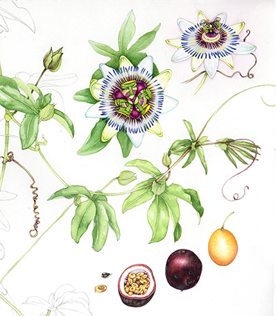 Passion Flower clipart complicated Ovary inferior illustrator botanical botany