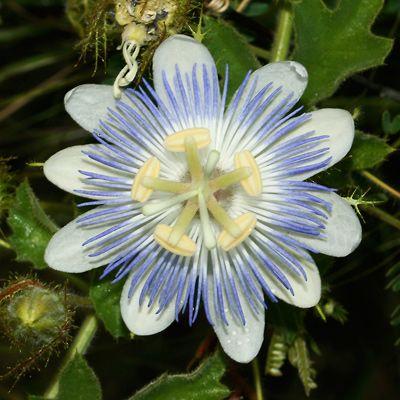Passion Flower clipart complicated Arizonica var images Passiflora veg