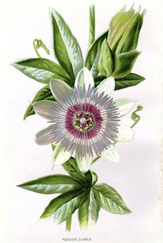 Passion Flower clipart complicated From Flower Print Botanical Passiflora