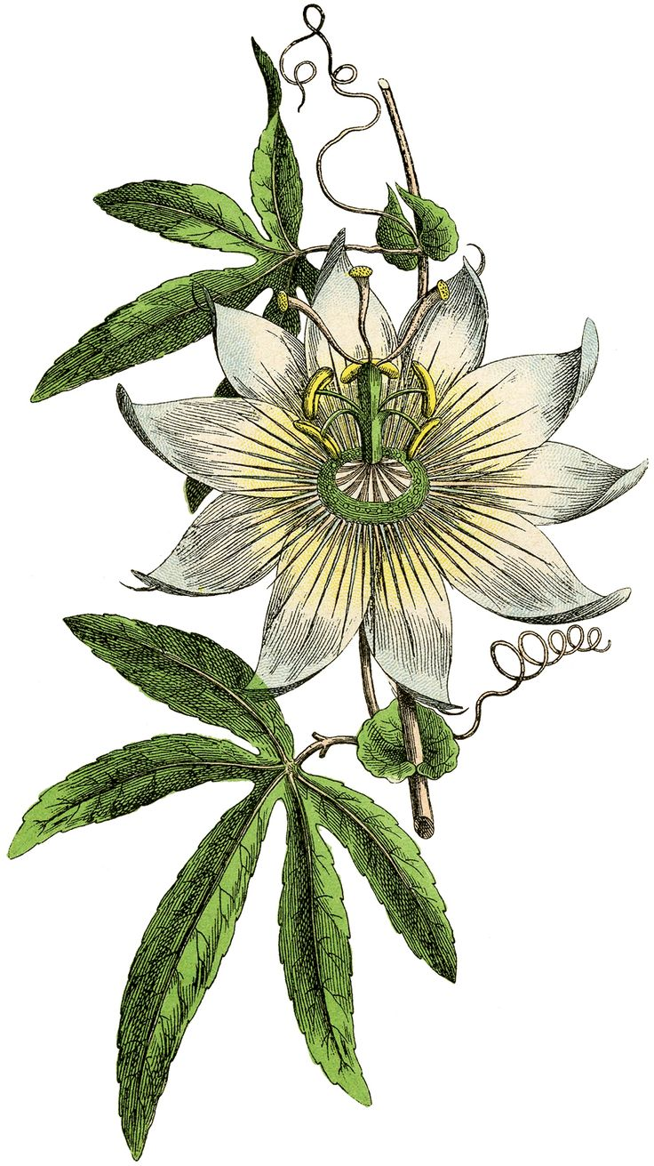 Passion Flower clipart complicated French images Image Flower ideas
