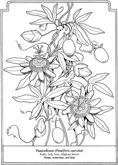 Passion Flower clipart complicated Drawing Sketch sample Flowers Passion