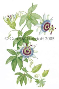 Passion Flower clipart De passiflora fleur la Pinterest