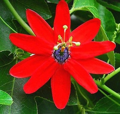 Passion Flower clipart Ideas 25+ flor Pasionaria Pinterest
