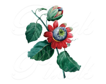 Passion Flower clipart red Passion Download Images Etsy PASSIFLORA