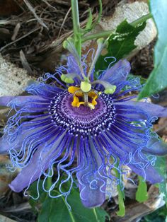 Passion Flower clipart trace Flower beta harmala Pinterest flower