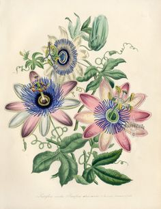 Passion Flower clipart trace Butterflies Garden Ornamental Flower Passionfruit