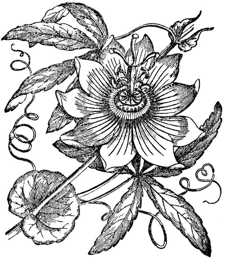 Passion Flower clipart trace Passion flower 26 images Pinterest