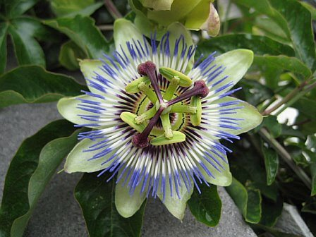 Passion Flower clipart trace Sacred Geometry Passion flower The