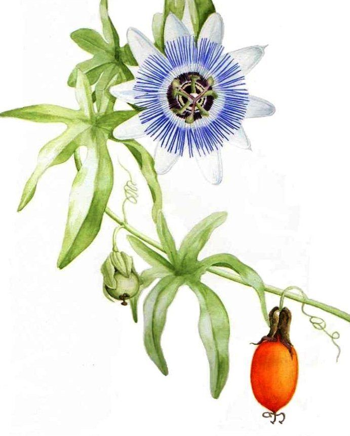 Passion Flower clipart trace Floral Graham Reed Artwork &