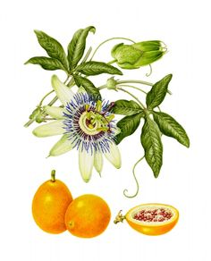 Passion Flower clipart trace Pinterest tattoos carerulea Passion Flower