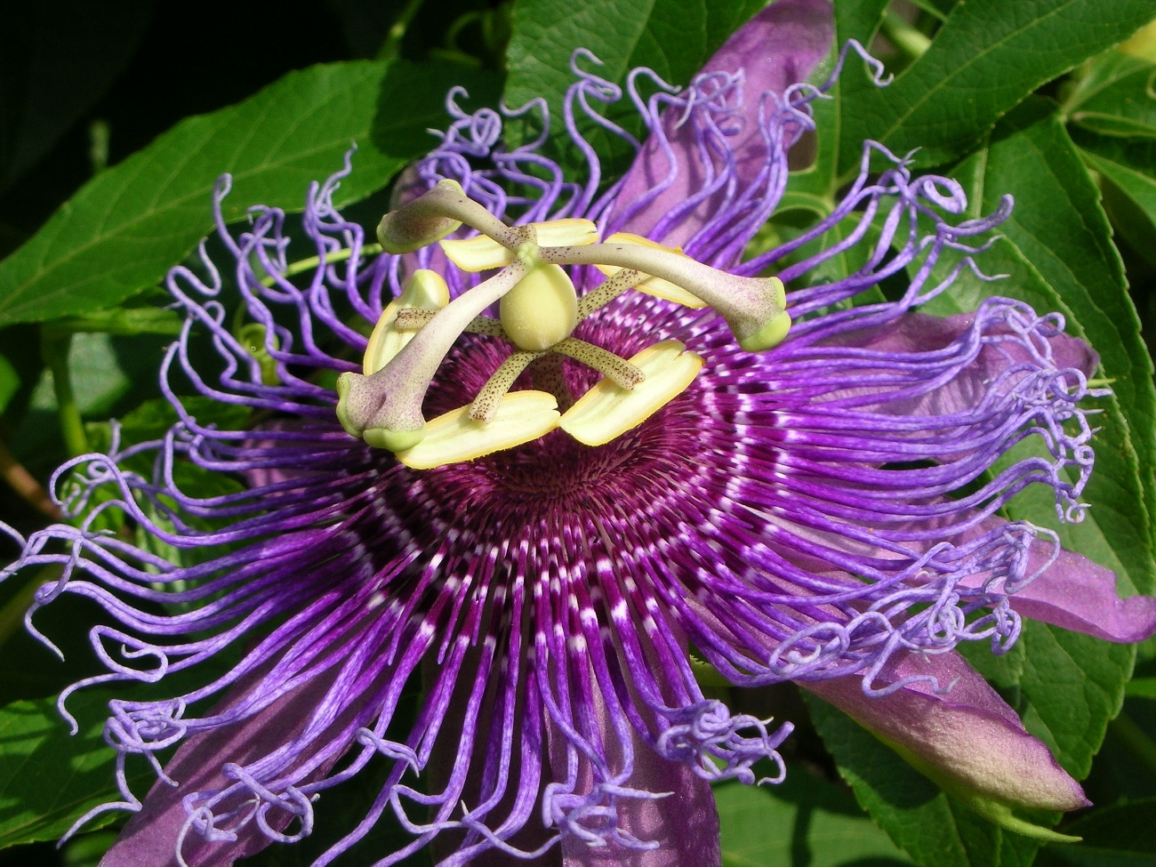 Passion Flower clipart trace Myth jpg ON of Symbolism