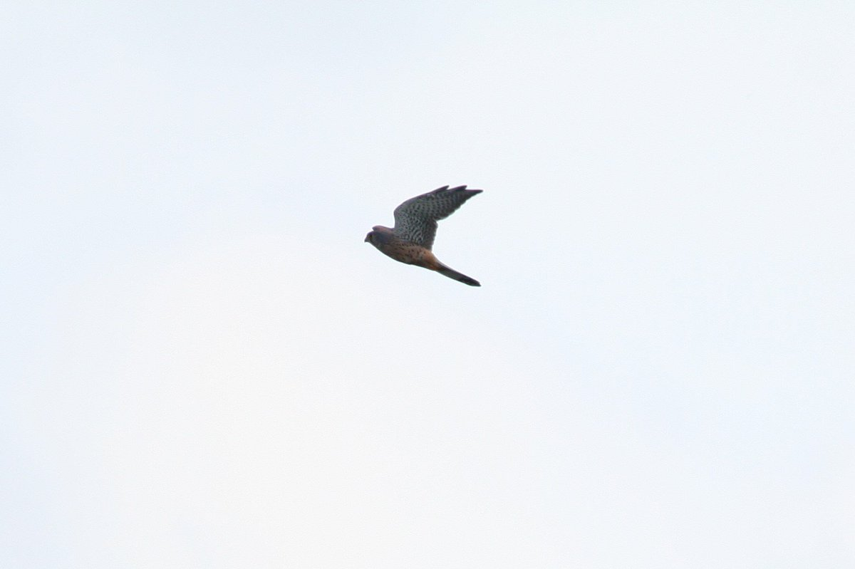 Pathway clipart far away On  #Titchfield #Kestrels Bird
