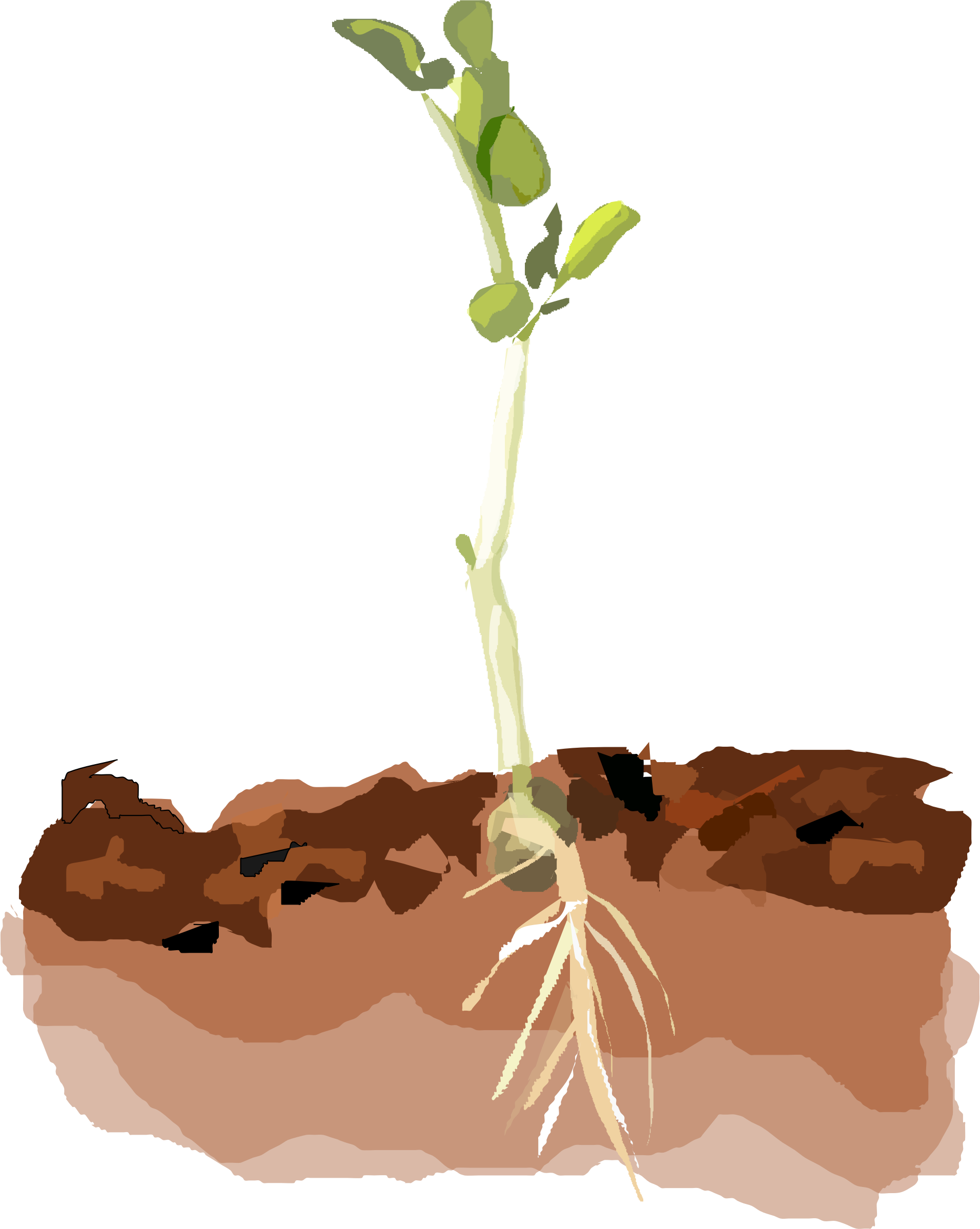 Plant clipart plant sprout Clipart Pea Pea Sprouting Sprouting