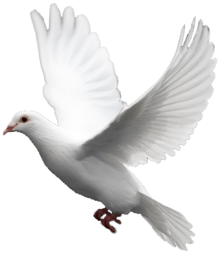 Peace clipart kabootar PNG pigeon image png flying