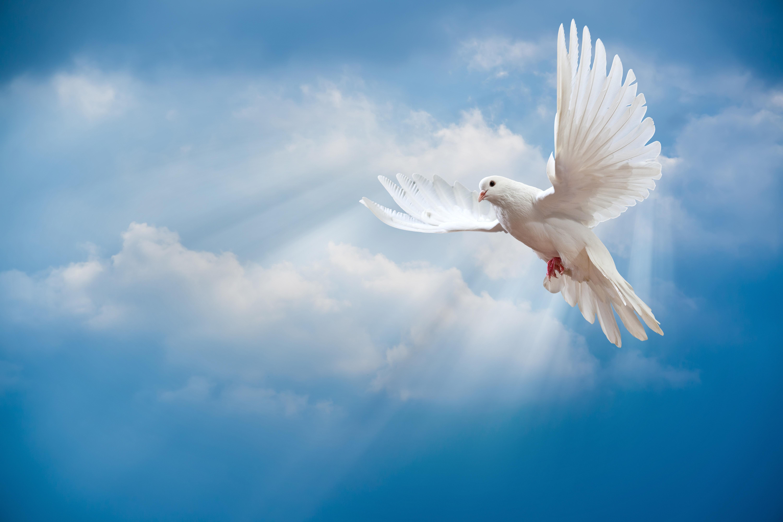 Peace Dove clipart air animal #10