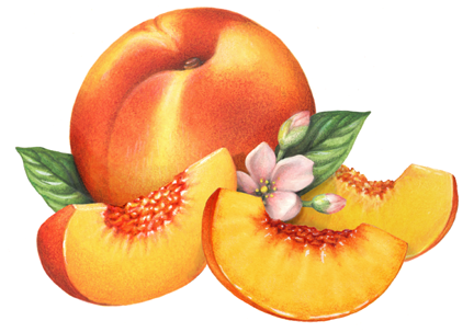 Peach clipart single fruit Related org Peach Art clipart