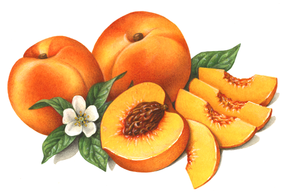 Peach clipart cut Illustration Domestic and Art with