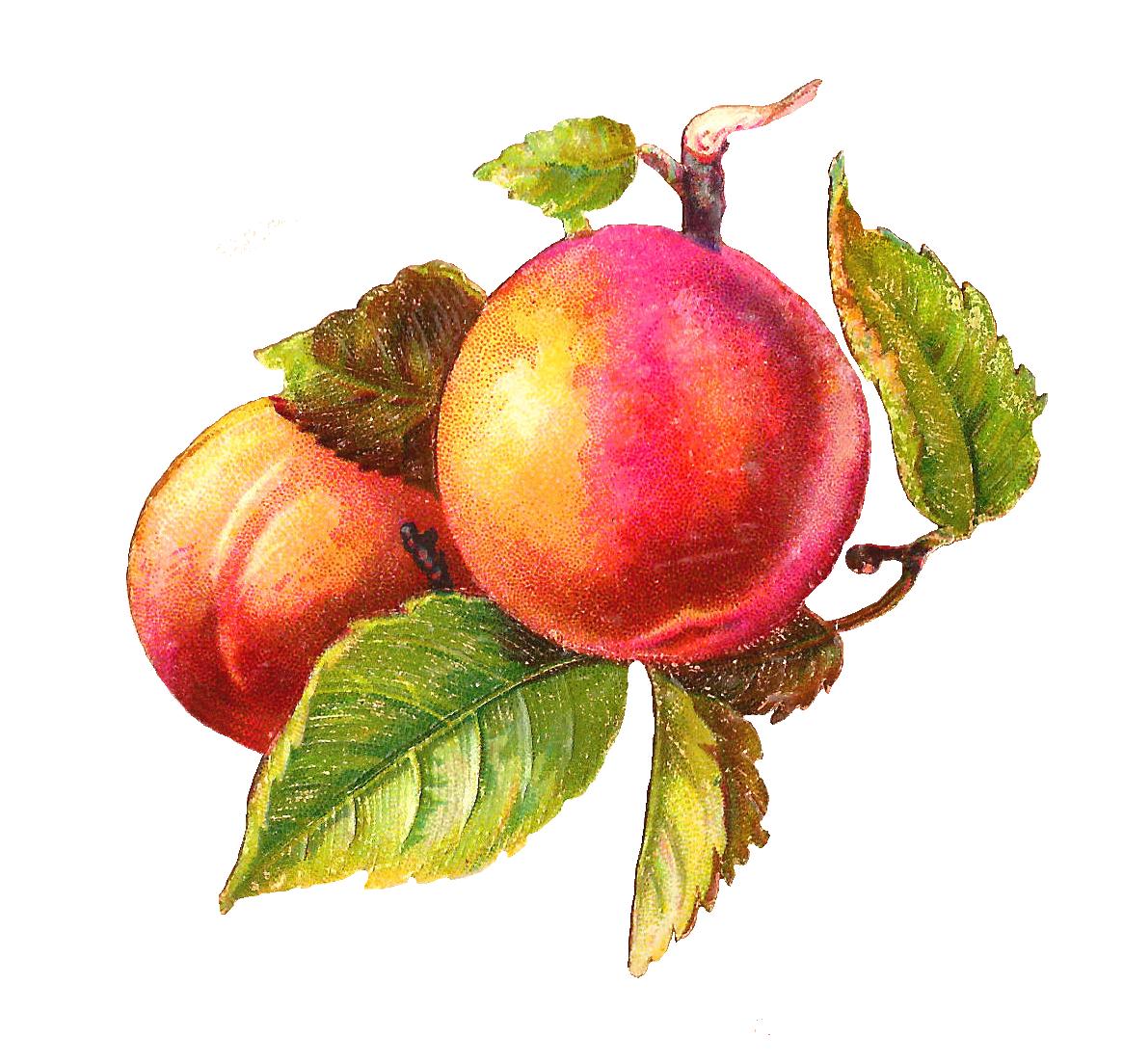 Peach clipart plum Free Images Clipart peach%20clipart Peach
