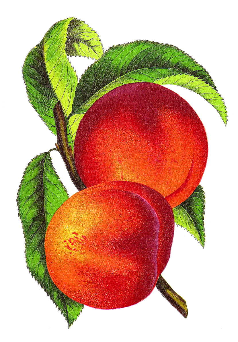 Peach clipart plum Com Art Peach Images Clipartion