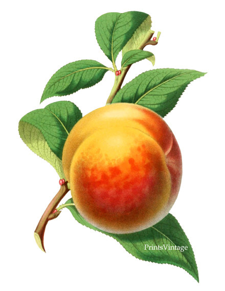 Peach clipart vintage Instant Peach  Image on