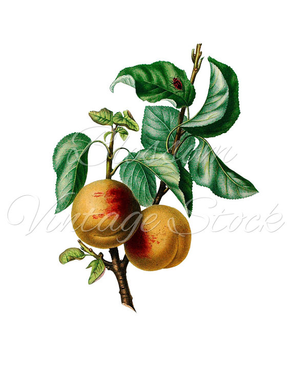 Peach clipart vintage Prints Image for Peach Clipart