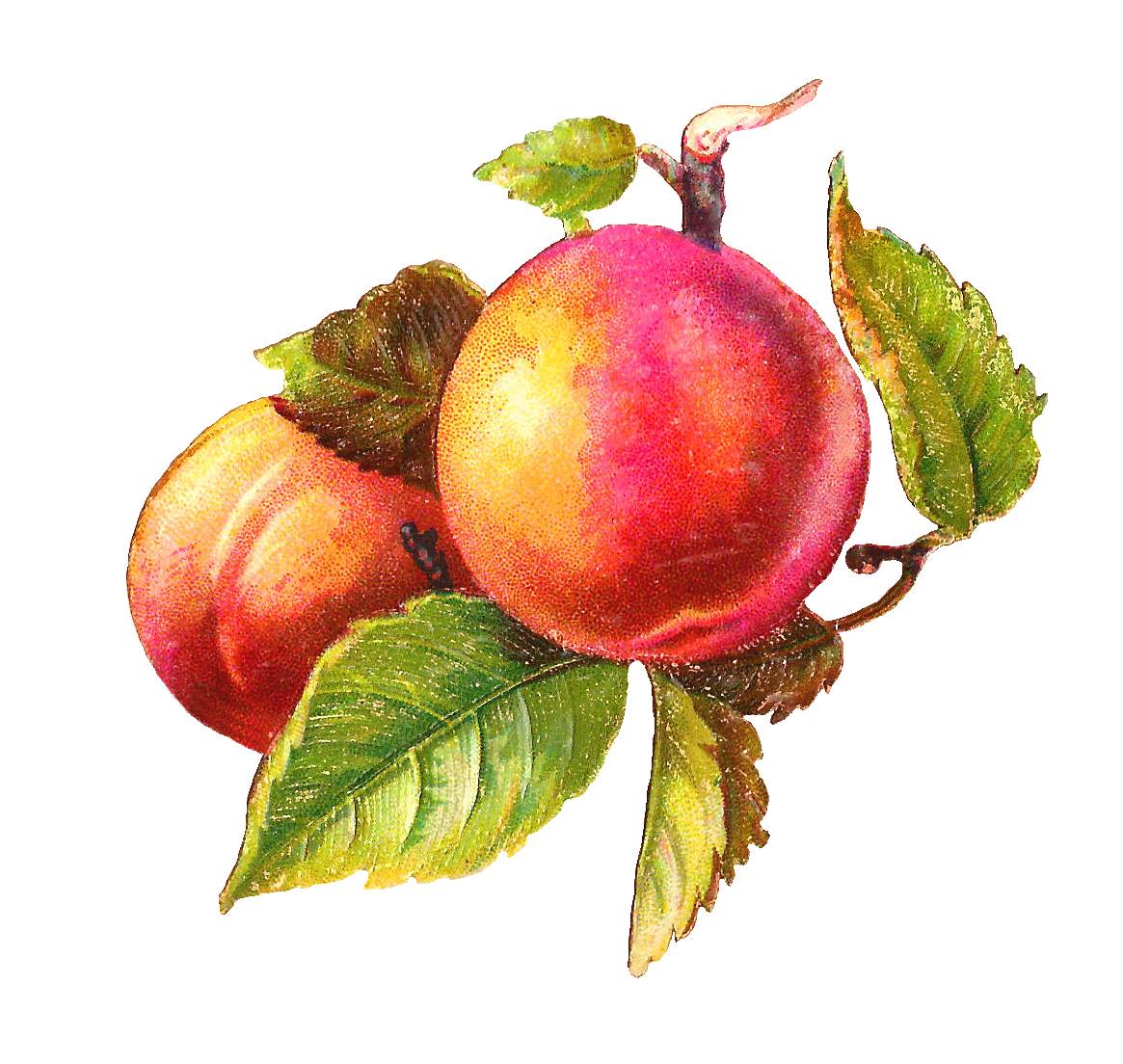 Peach clipart vintage Peach Clip  and with