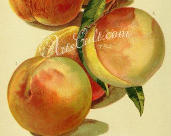 Peach clipart vintage Vintage Crosby Peach Peach Etsy