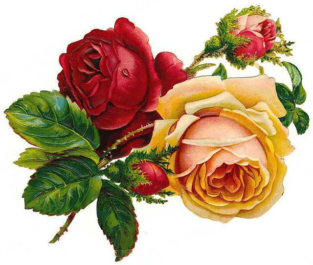 Peach clipart vintage Roses and Graphics: Art roses