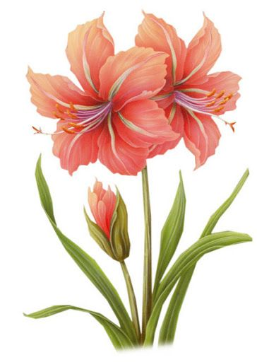 Peach Flower clipart amaryllis Flowers CON Drawing LAMINAS r