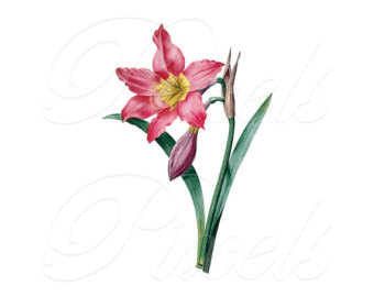 Peach Flower clipart amaryllis Download Instant Digital Pink clipart