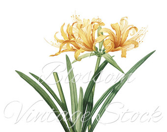 Peach Flower clipart orange Artwork Illustration Peach Flowers clipart