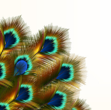 Peacock clipart background Vector beautiful commercial  (102