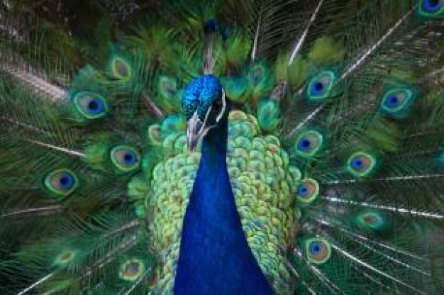 Peacock clipart front view Cartoon colorful in art front