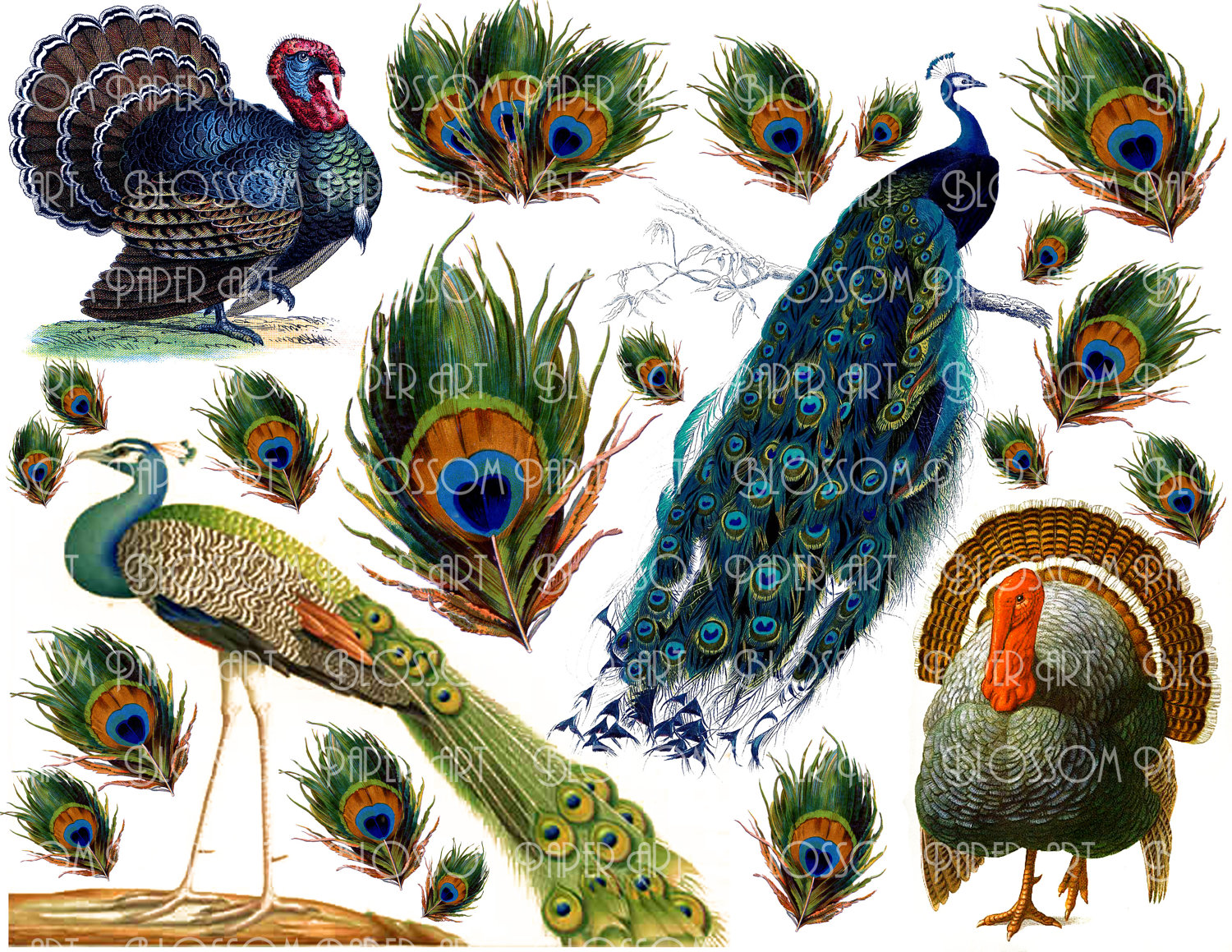 Peacock clipart victorian Sheet and Images Images more!