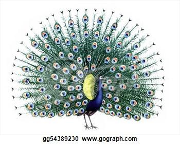 Peacock clipart white background White Art Art White Clip